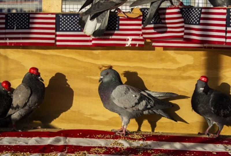 maga pigeon