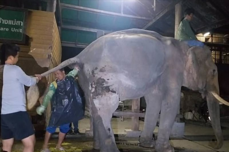 constipated elephant